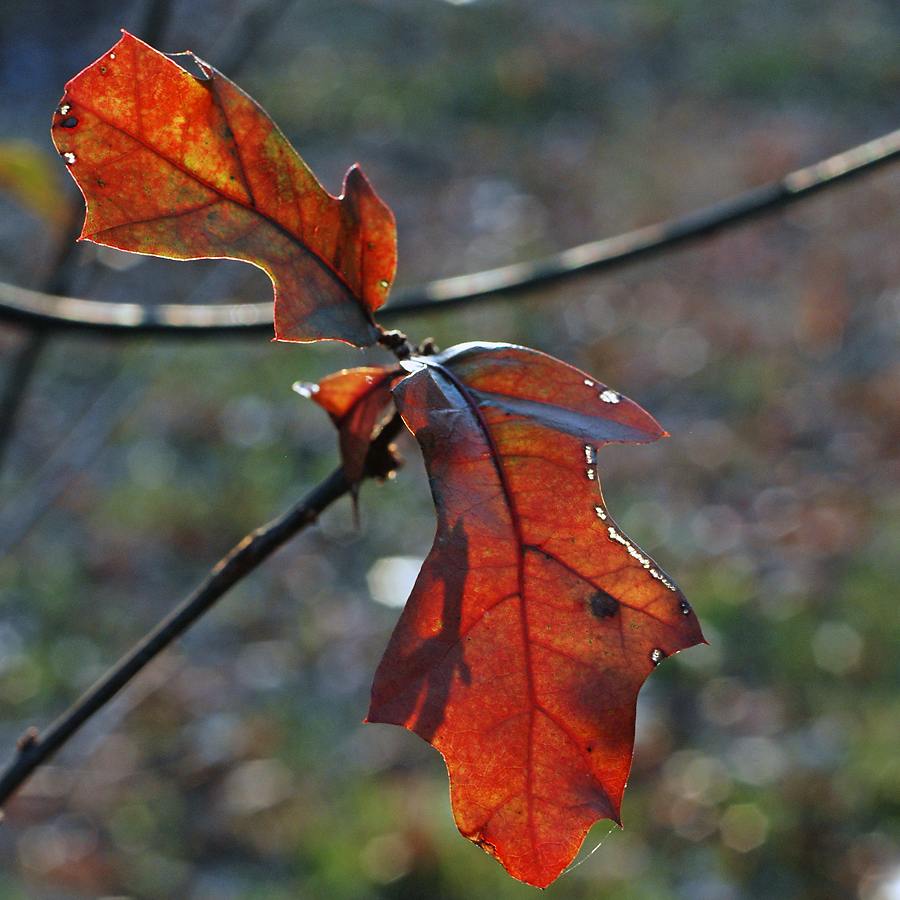 Cold Fall Oak 2 © 2012 NATE METZ