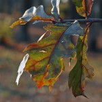 Cold Fall Oak 3 © 2012 NATE METZ