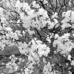 bloomsIMG_3353