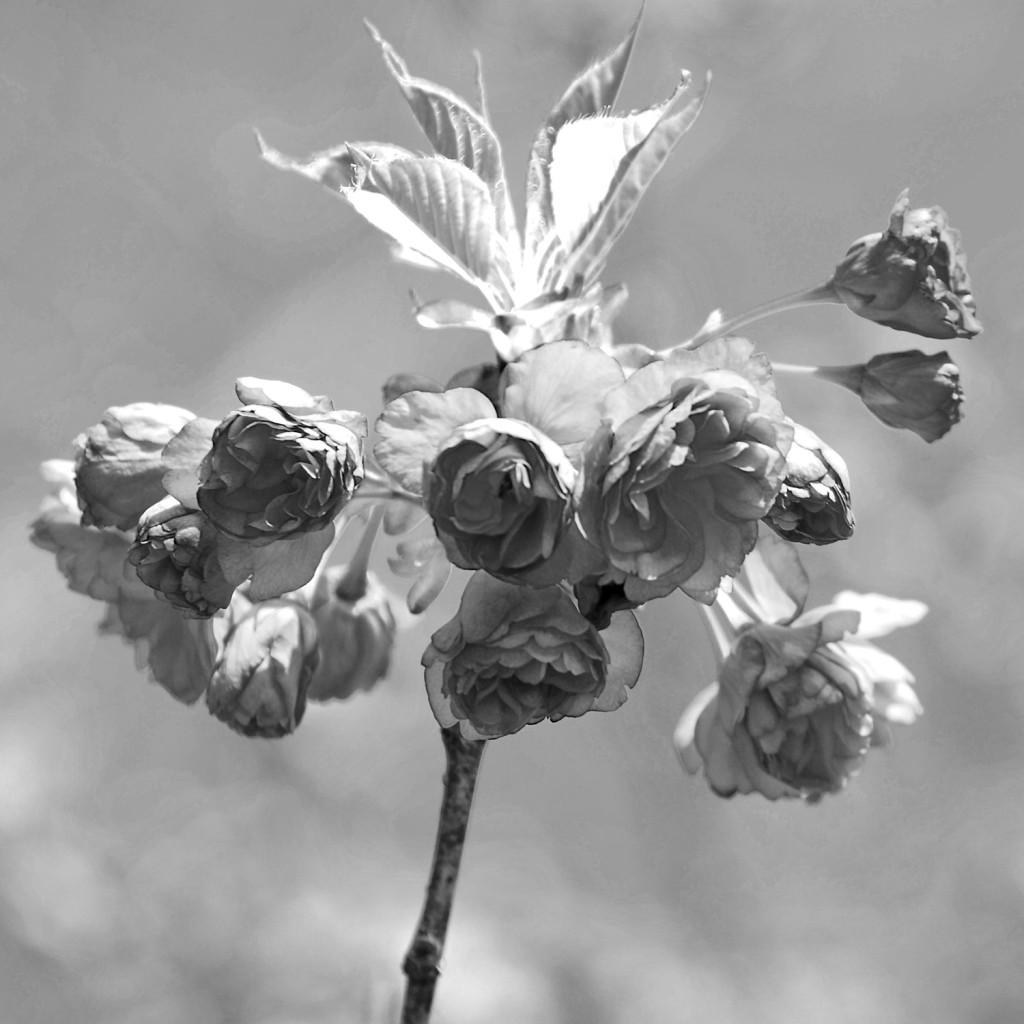 flower05bwDSC_1876